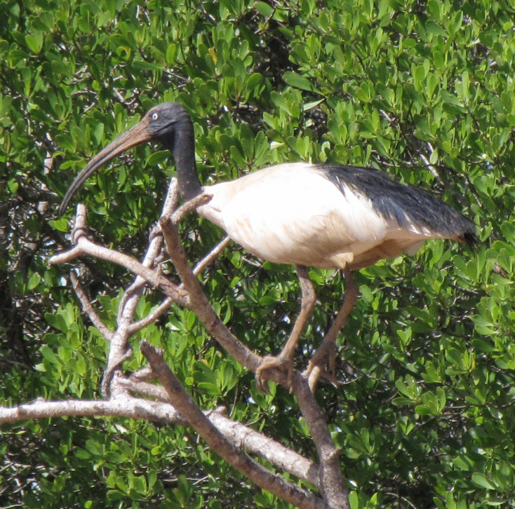 Malagasy Ibis