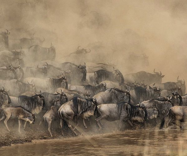 , 12 terrific truths about The Great Wildebeest Migration