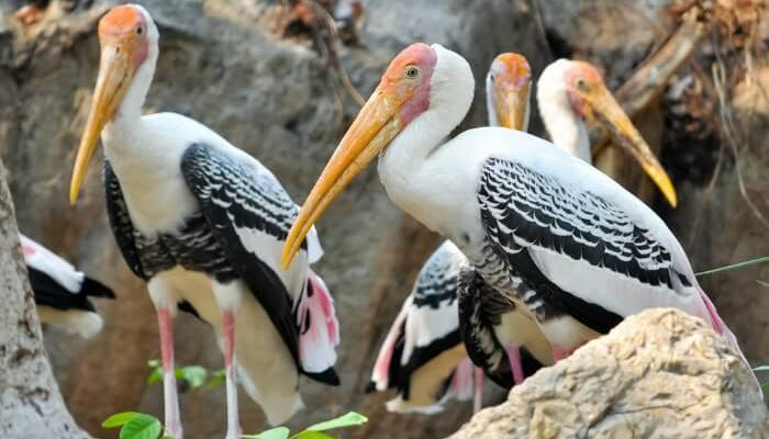 Painted Storks perched on rocks in the Water Bird Sanctuary in Rameshwaram