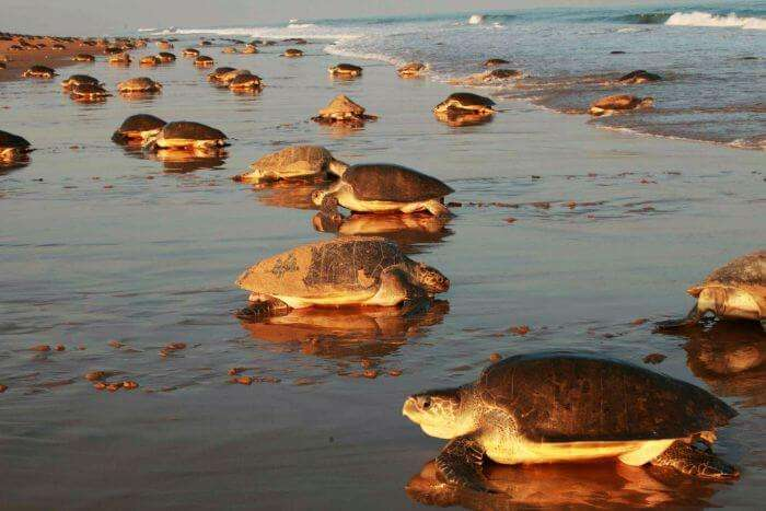 Turtles on the shore as water recedes about5 km on the Chandipur Beach in Orissa